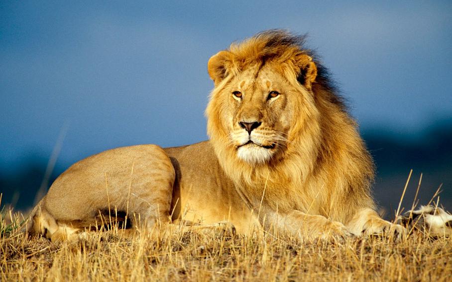 ASLPN-lion